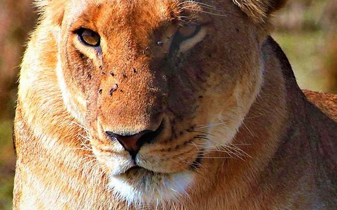 lion-masai-mara